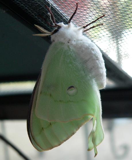 Luna Moth emergence - Actias luna