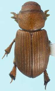 Rhysothorax rufus (Fabicius) - Rhysothorax rufus