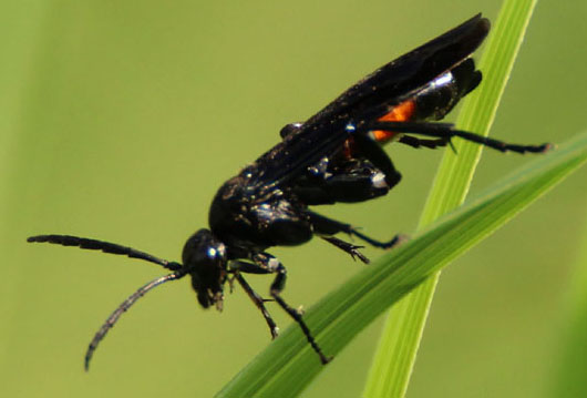 Possible spider wasp
