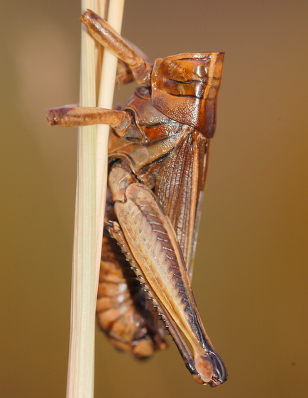 Headless fungus victim - Melanoplus bivittatus - male
