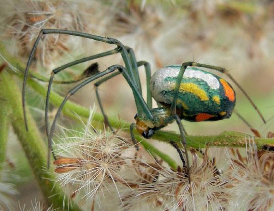 Mabel Orchard Spider 5 - Leucauge argyrobapta