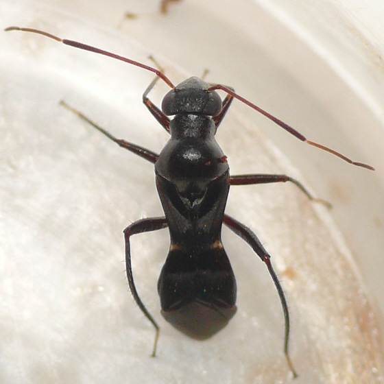 The most striking antlike mirid - Barberiella formicoides