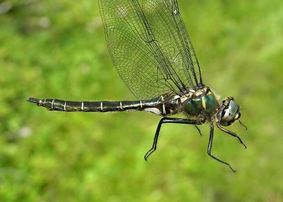 Ringed Emerald - Somatochlora albicincta - female