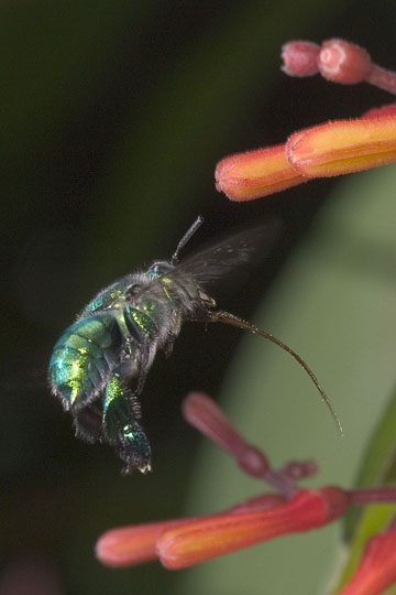 Orchid bee in flight showing its long tongue - Euglossa dilemma - female