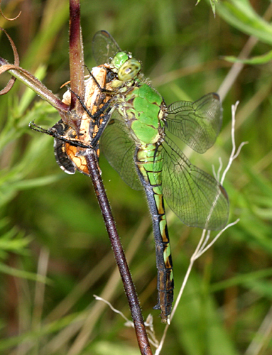 Common Pondhawk eating a Pearl Crescent - Erythemis simplicicollis - female