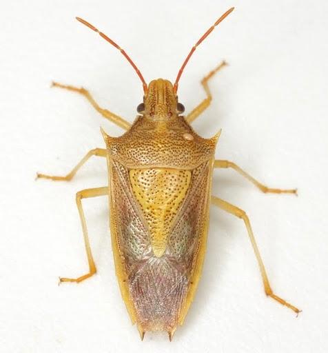 Oebalus pugnax (Fabricius) - Oebalus pugnax