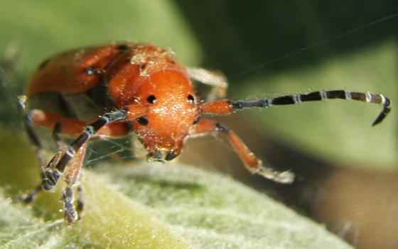 Red-femured Milkweed Borer - Tetraopes femoratus