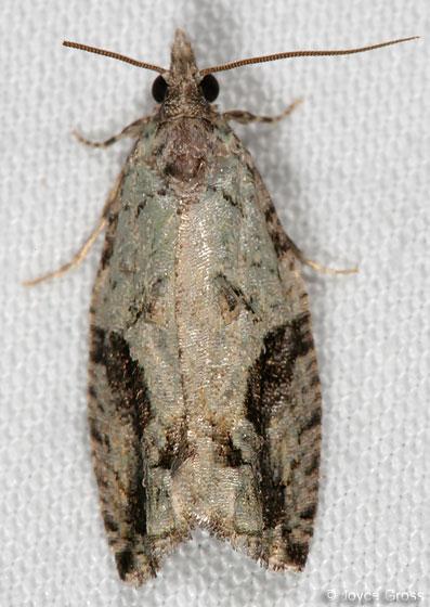 moth - Epinotia fumoviridana