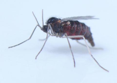 Gall Midge - Rhopalomyia audibertiae