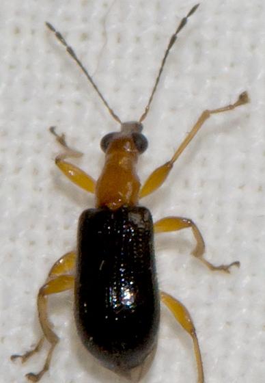 Eugnamptus angustatus