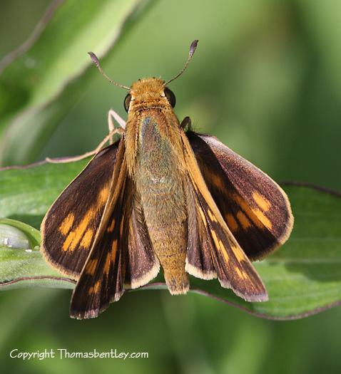 Skipper - Hylephila phyleus - female