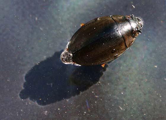 Whirlygig Beetle - Dineutus
