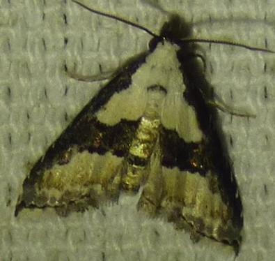 Nigetia formosalis - Thin-winged Owlet Moth - Nigetia formosalis