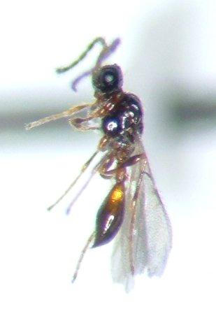 Diapriid 03 - Polypeza