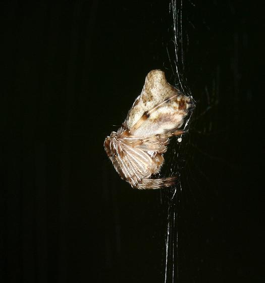 Juvenile Trashline Orbweaver - Cyclosa conica