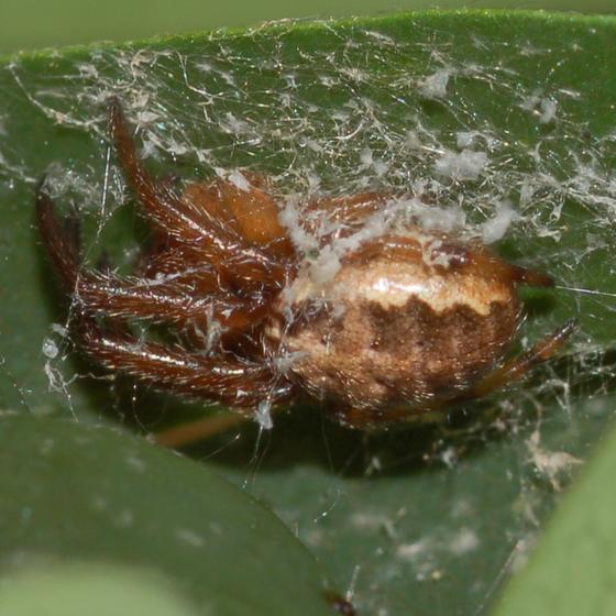 Araneid - Zygiella nearctica