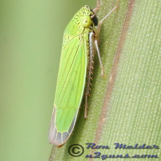 Leafhopper - Hortensia similis