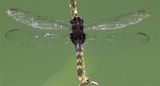 Pin-tailed Pondhawk - Erythemis plebeja - male