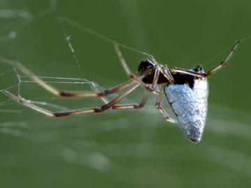 Dewdrop Spider - Argyrodes nephilae