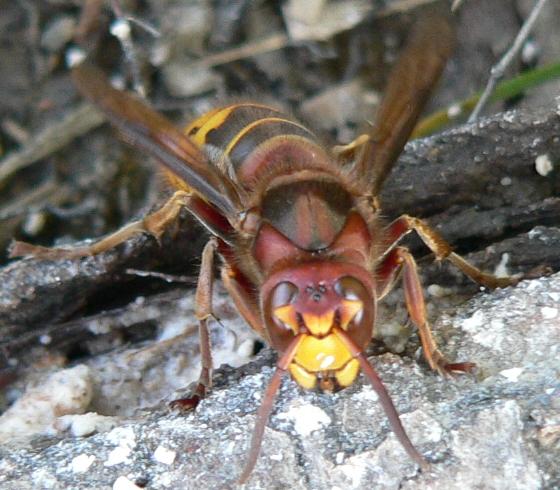 European Hornet - Vespa crabro - female