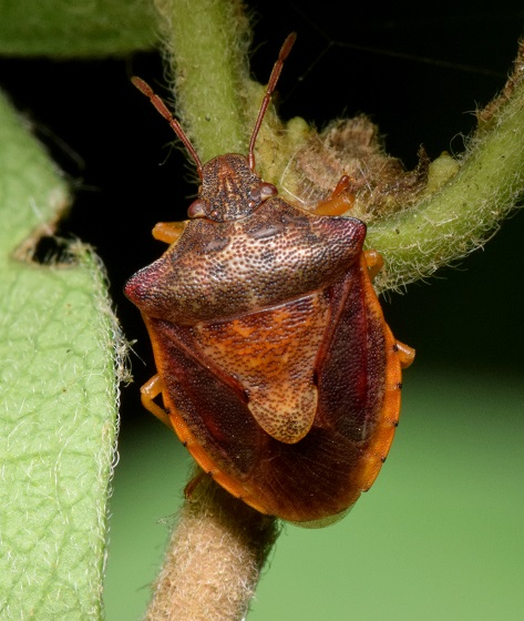 Stink bug - Dendrocoris humeralis