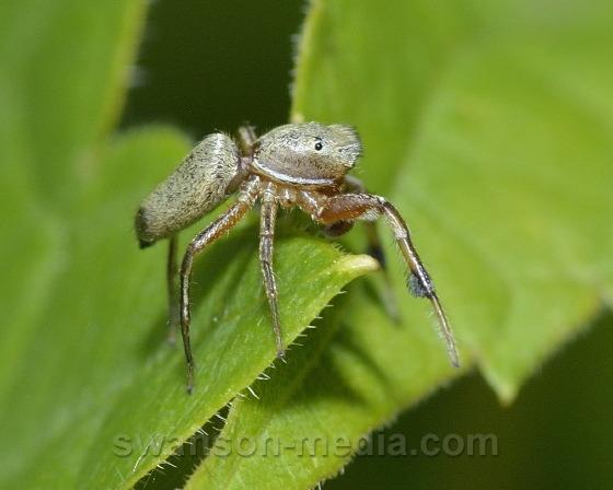 Jumping Spider - Tutelina elegans - male