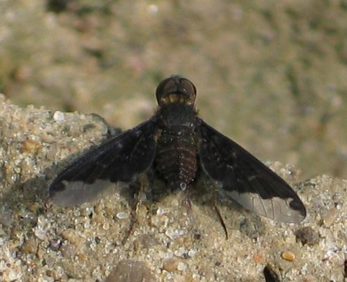 Sinuous Bee Fly - Hemipenthes sinuosa