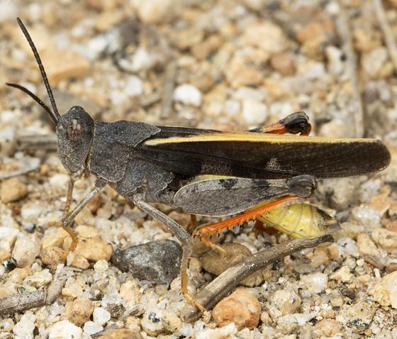 grasshopper - Agymnastus venerabilis - male