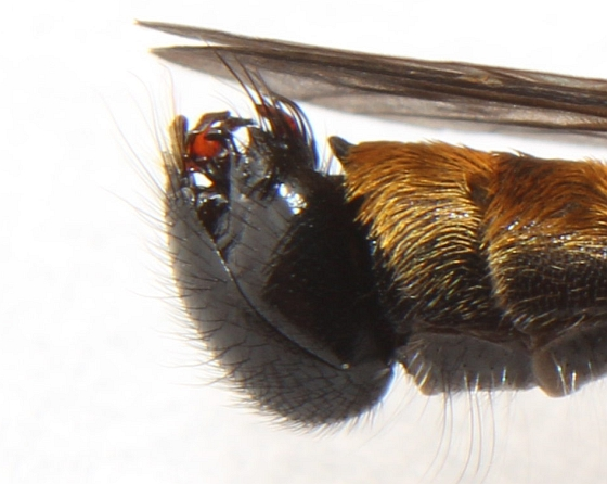 Laphria index - male