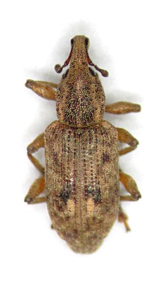 Listronotus appendiculatus - male