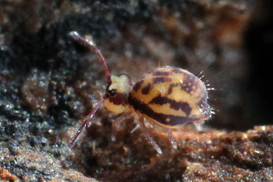 globular springtail - Dicyrtomina
