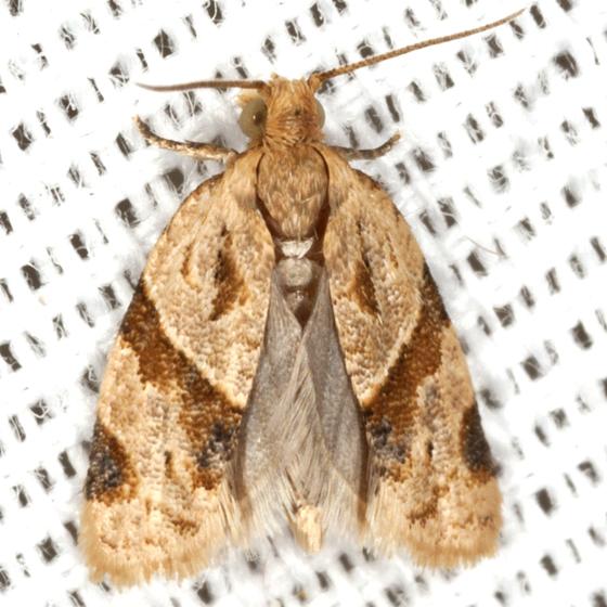 Garden Tortrix - Hodges #3688 - Clepsis peritana