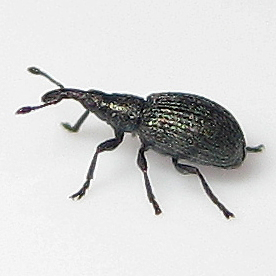 Micro Weevil 4=v= - Ischnopterapion virens