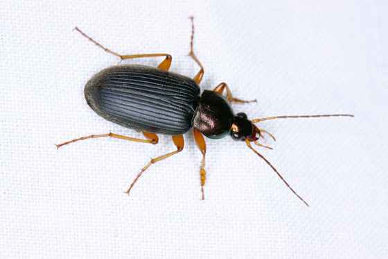Beetle - Chlaenius tricolor