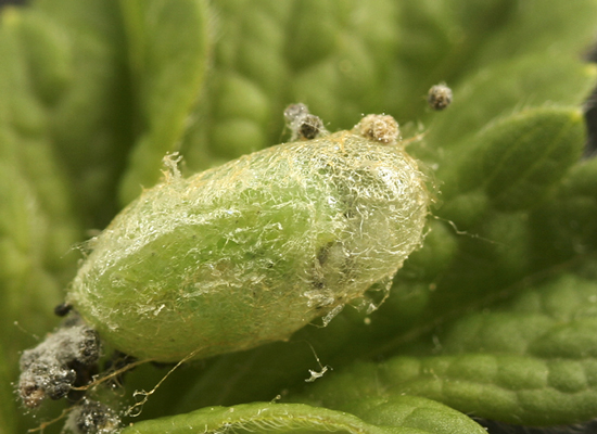 Sawfly - Pristiphora appendiculata
