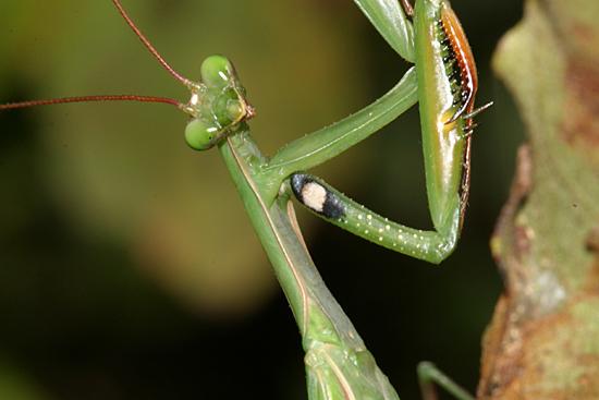 European Mantis - Mantis religiosa - male