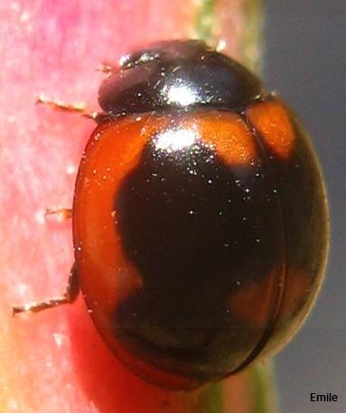 blackish Lady Beetle with reddish markings on Goosefoot - Exochomus subrotundus