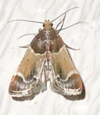 Pyralis farinalis  - Pyralis farinalis