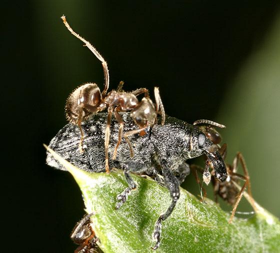 Weevil - Larinus planus