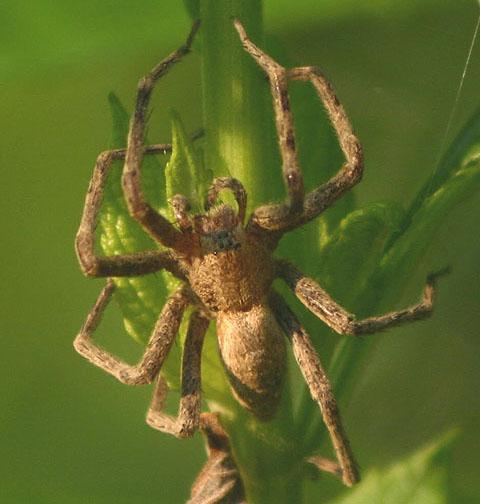 Unknown Spider - Pisaurina mira