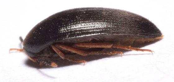 Under Bark - Eustrophopsis bicolor