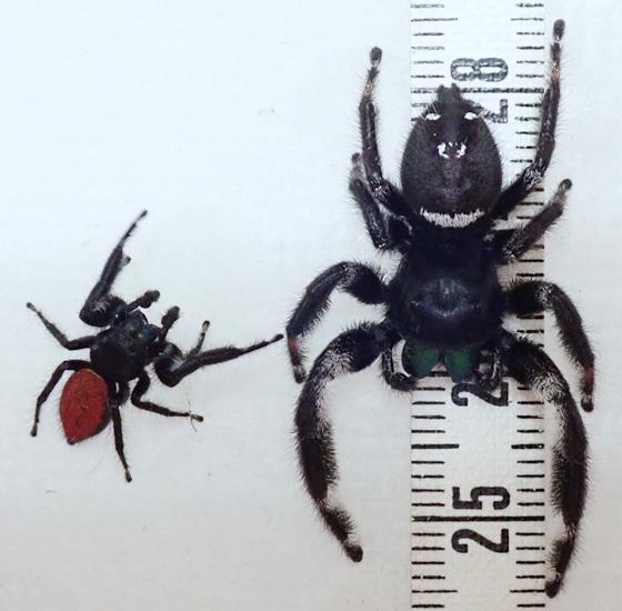 Phidippus - male