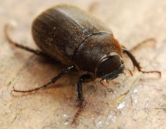 may beetle - Diplotaxis sordida