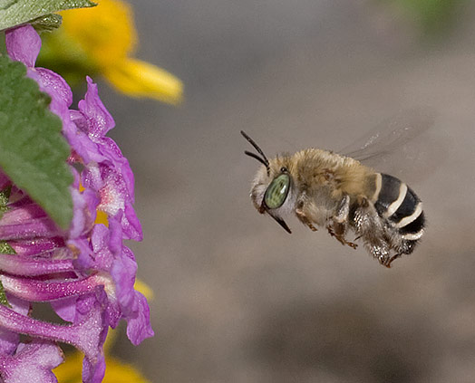 small bee - Anthophora californica - female