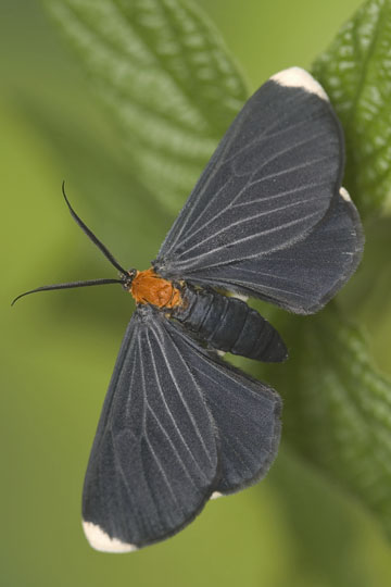 Life cycle of a White-tipped Black: Adult - Melanchroia chephise - female
