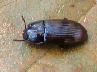 brown Beetle - Uloma imberbis