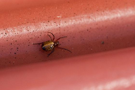 golden spider - Hypsosinga pygmaea