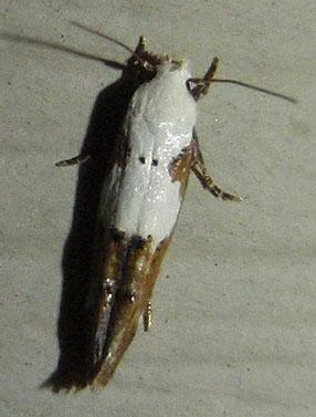 micro moth - Mompha circumscriptella