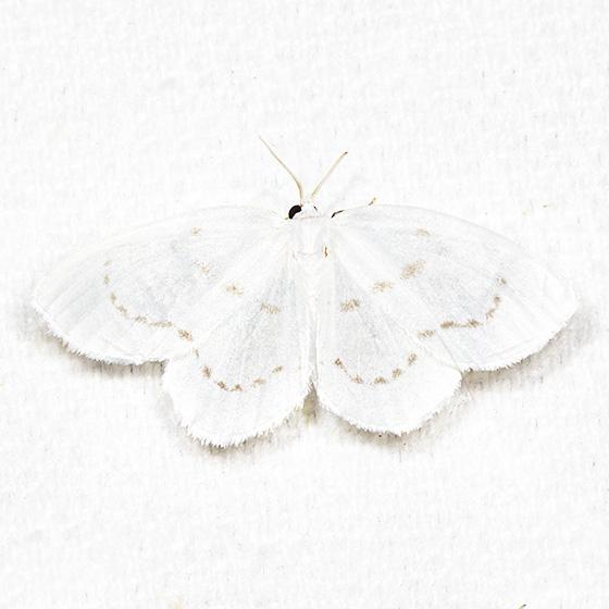 Northern Eudeilinia - Hodges#6253 - Eudeilinia herminiata