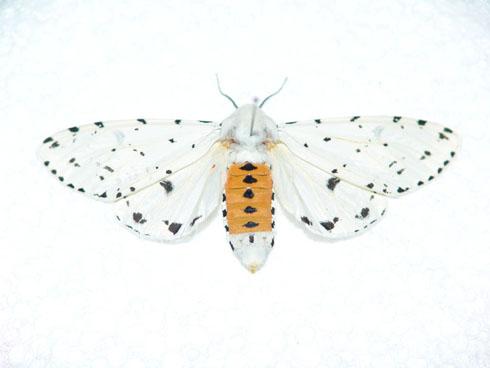 Salt Marsh Moth - Estigmene acrea - female